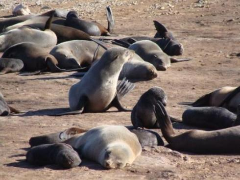Fur seal group