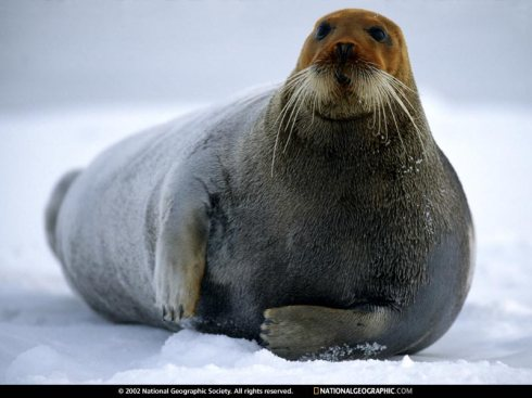 ginger seal