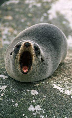 Seal roar